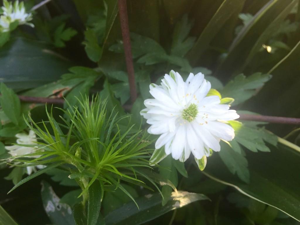 unknown white green flower