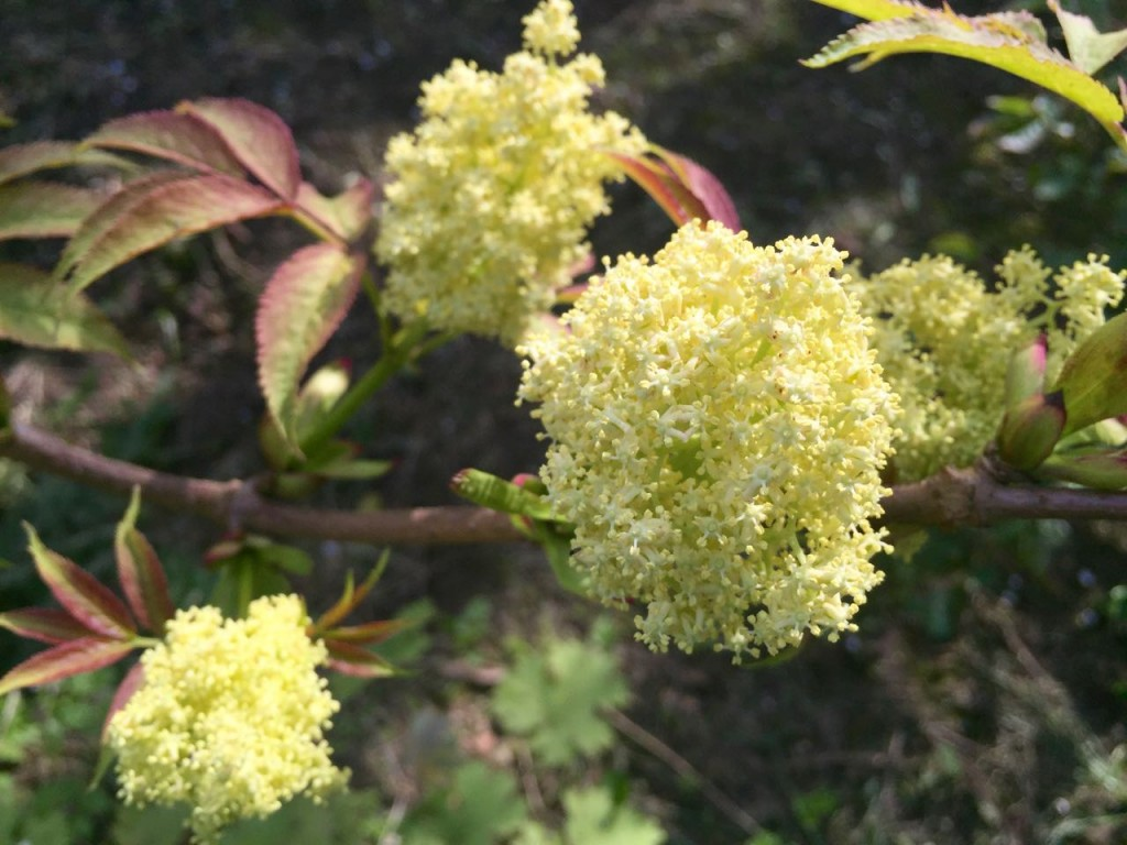 sambucus racemosa sutherland gold flower