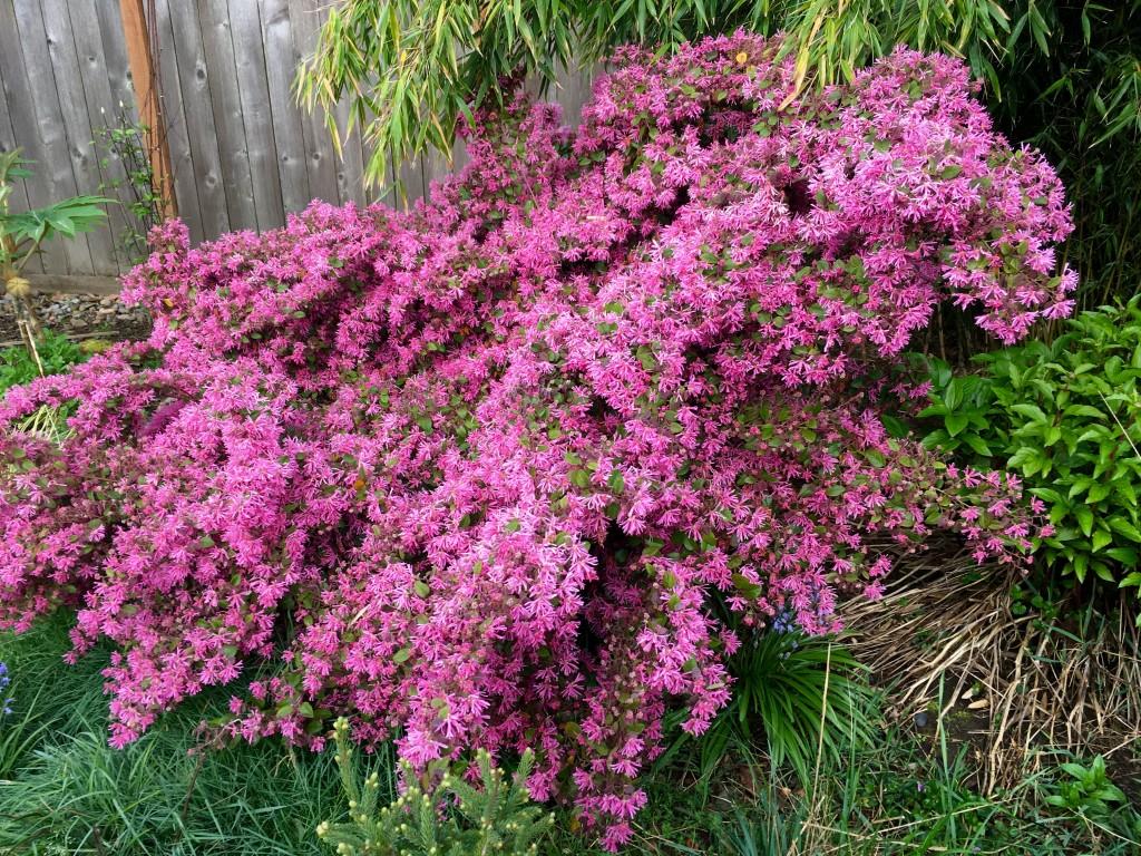 Lorapetalum 'Sizzling Pink' in my own backyard.