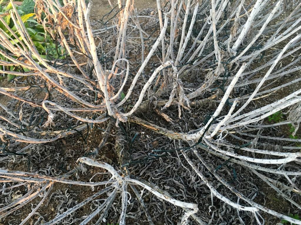 Echium candicans 'Variegata' with good bones.