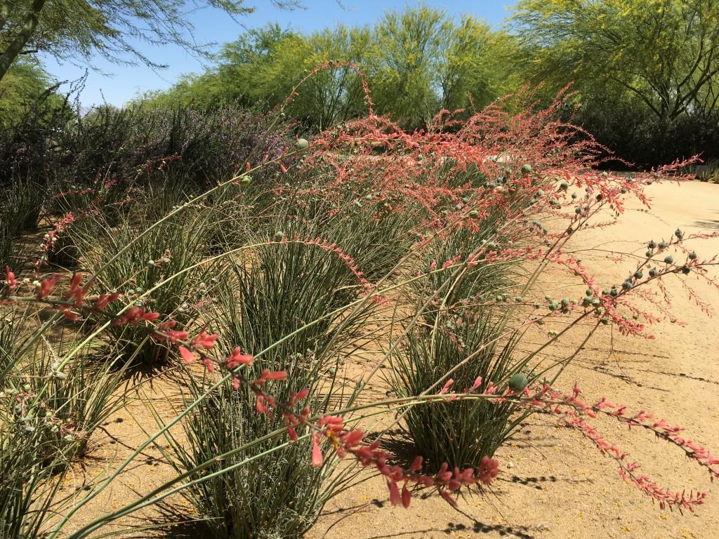 Hesperaloe, which I love, planted en masse.