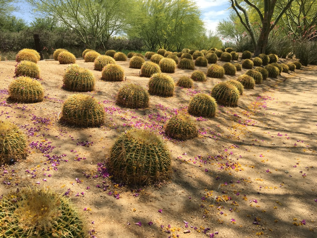 Barrel Cactus all in a row. (Actually, one of my favorite mass plantings.)