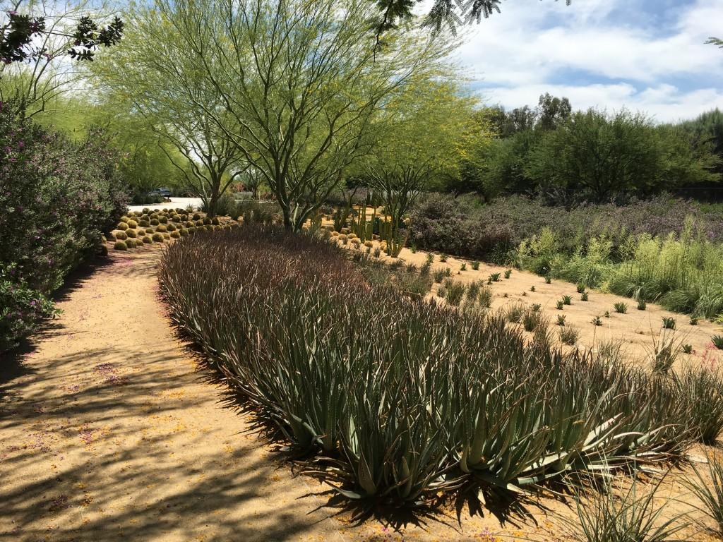 I liked the trees, Parkinsonia aculeata aka Palo Verde.