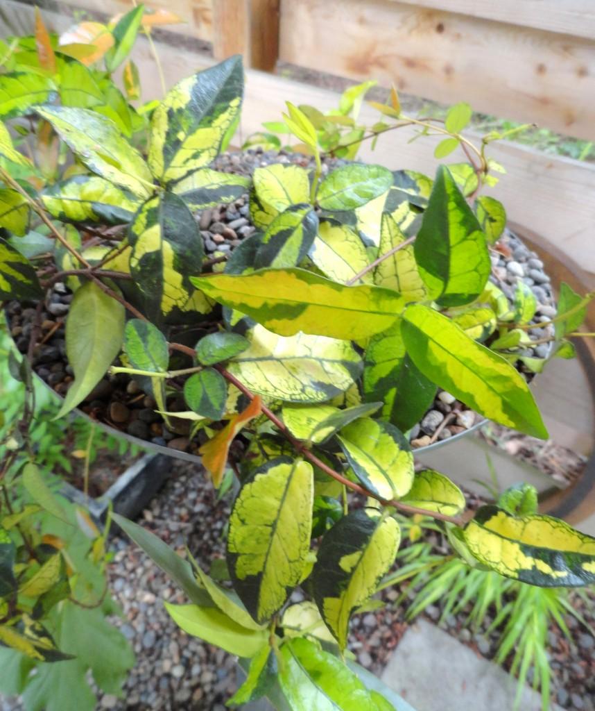 Trachelospermum a
