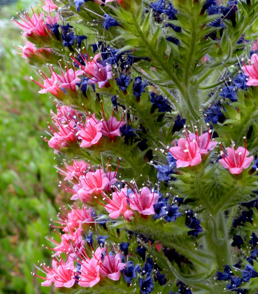 Echium wildpretii starting blooming