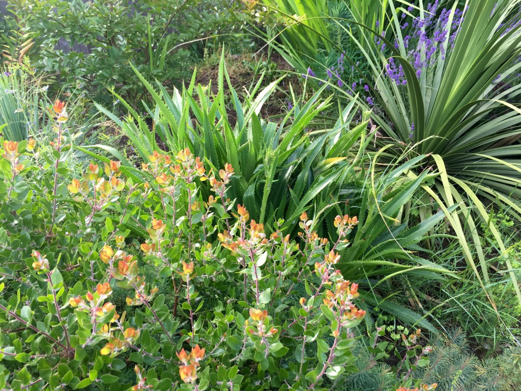 Gets along well with others. Here, with Nolina and Arctostaphylos.