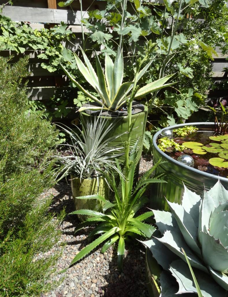Agave ovatifolia 'Frosty Blue' and stock tank