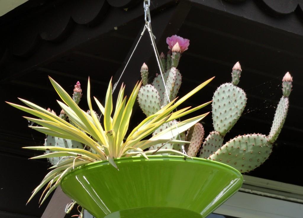 Opuntia basilaris and Yucca gloriosa 'Walbristar'