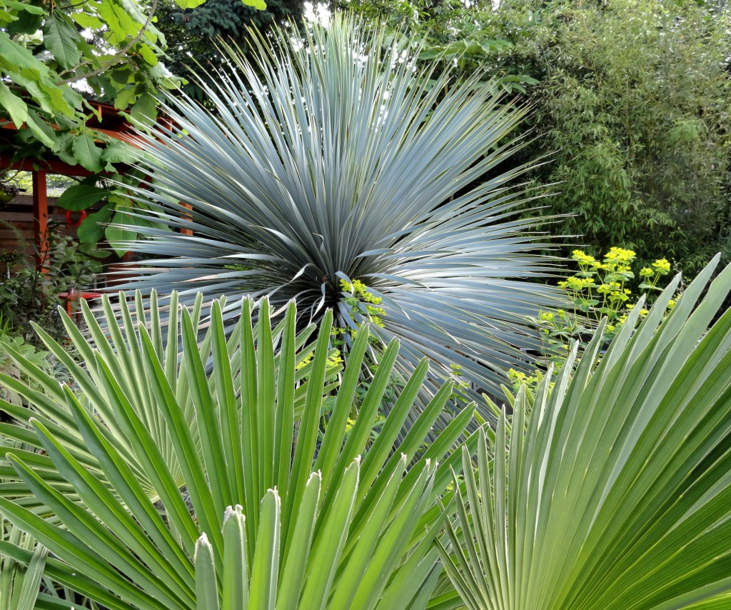 Yucca rostrata and Trachycarpus wagnerianus