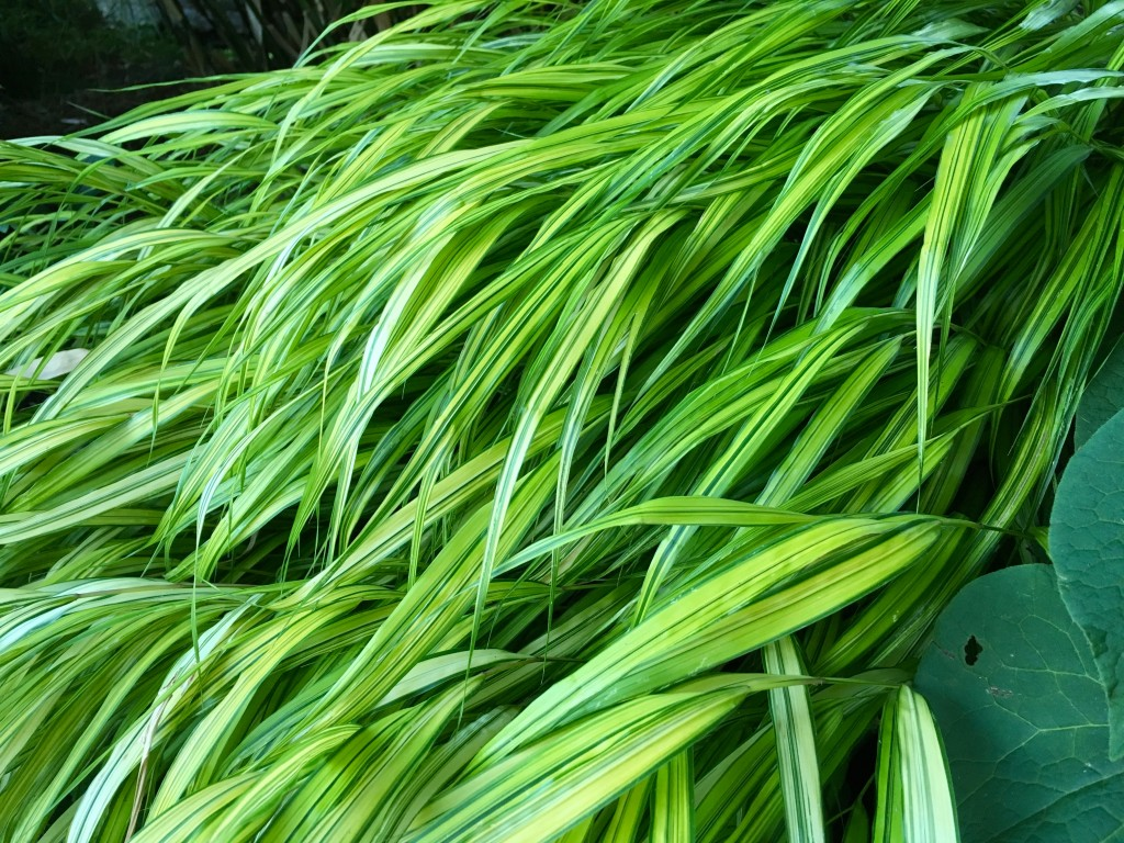 Hakonechloa macra 'Aureola' -- this really is a different picture from the one atop.