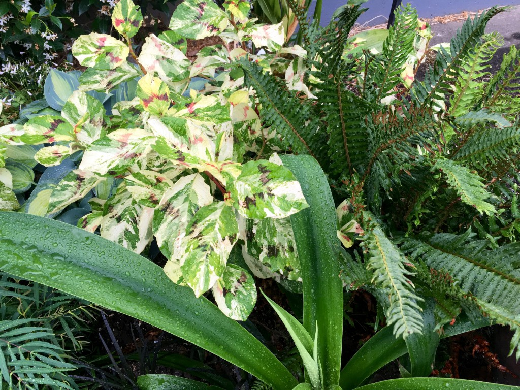 Persicaria 'Painter's Palette' in my garden -- from Vanessa's.
