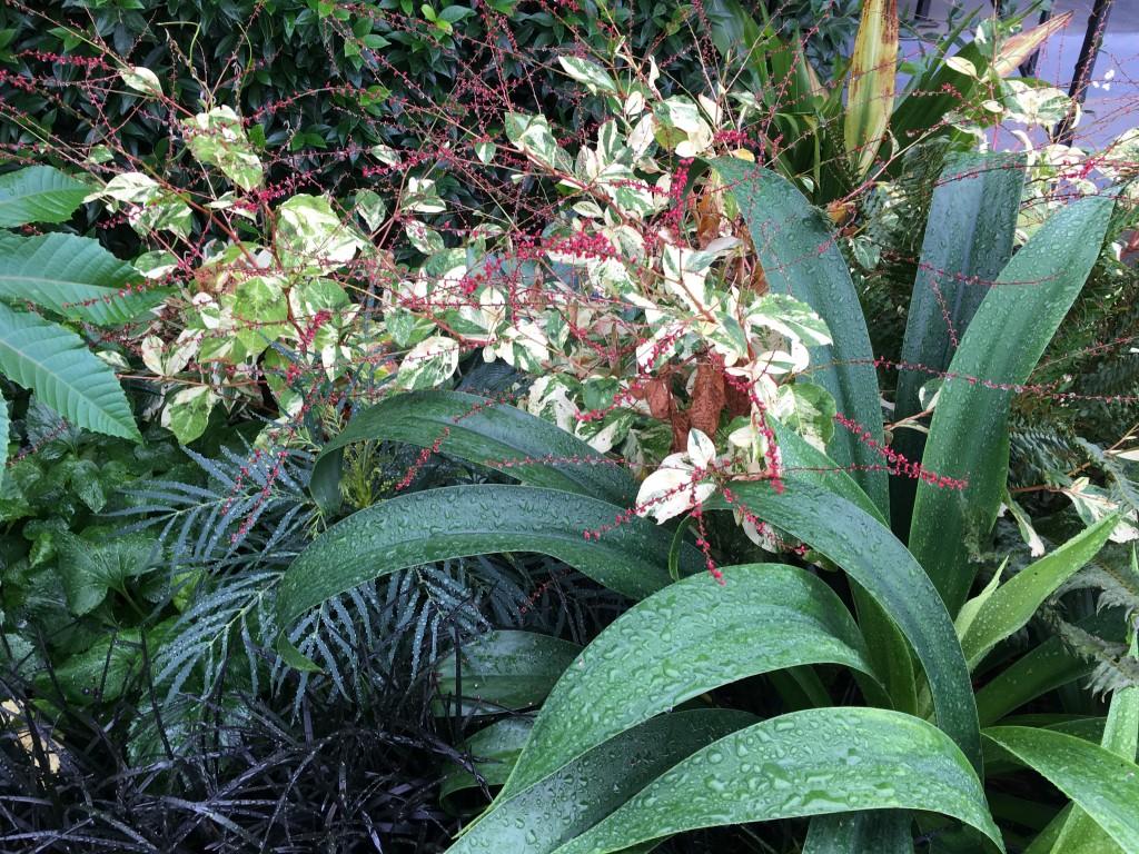 Beschorneria septentrionalis, Persicaria 'Painter's Palette', and Mahonia 'Soft Caress'