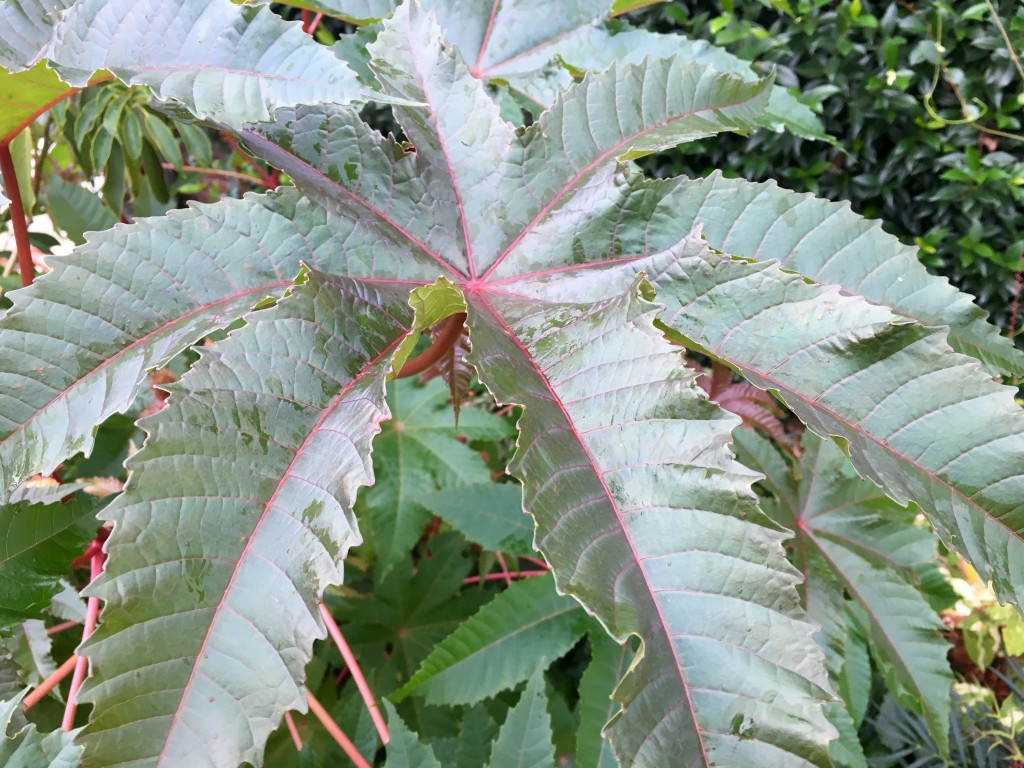 Ricinus communis in this garden too.