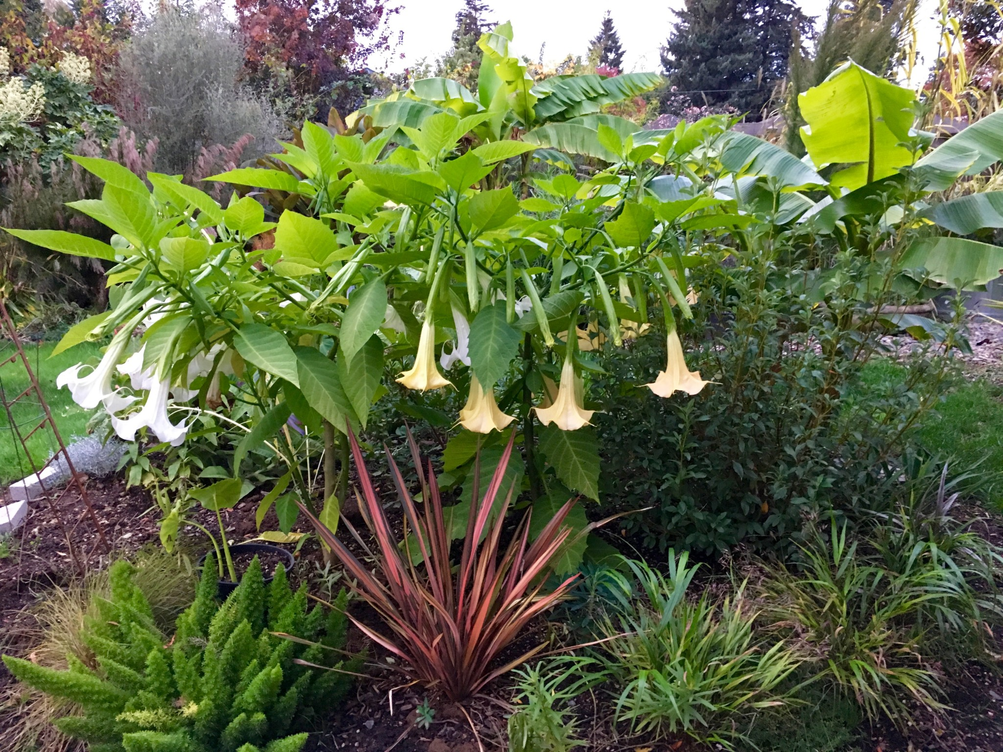 I give you Brugmansias blooming in late October.