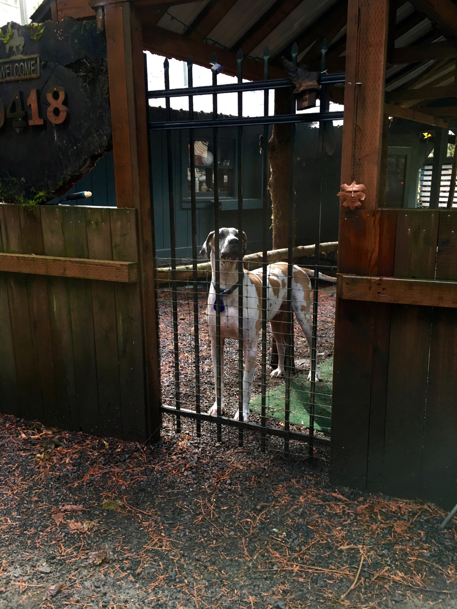 Great Dane behind closed gates--until she was not.