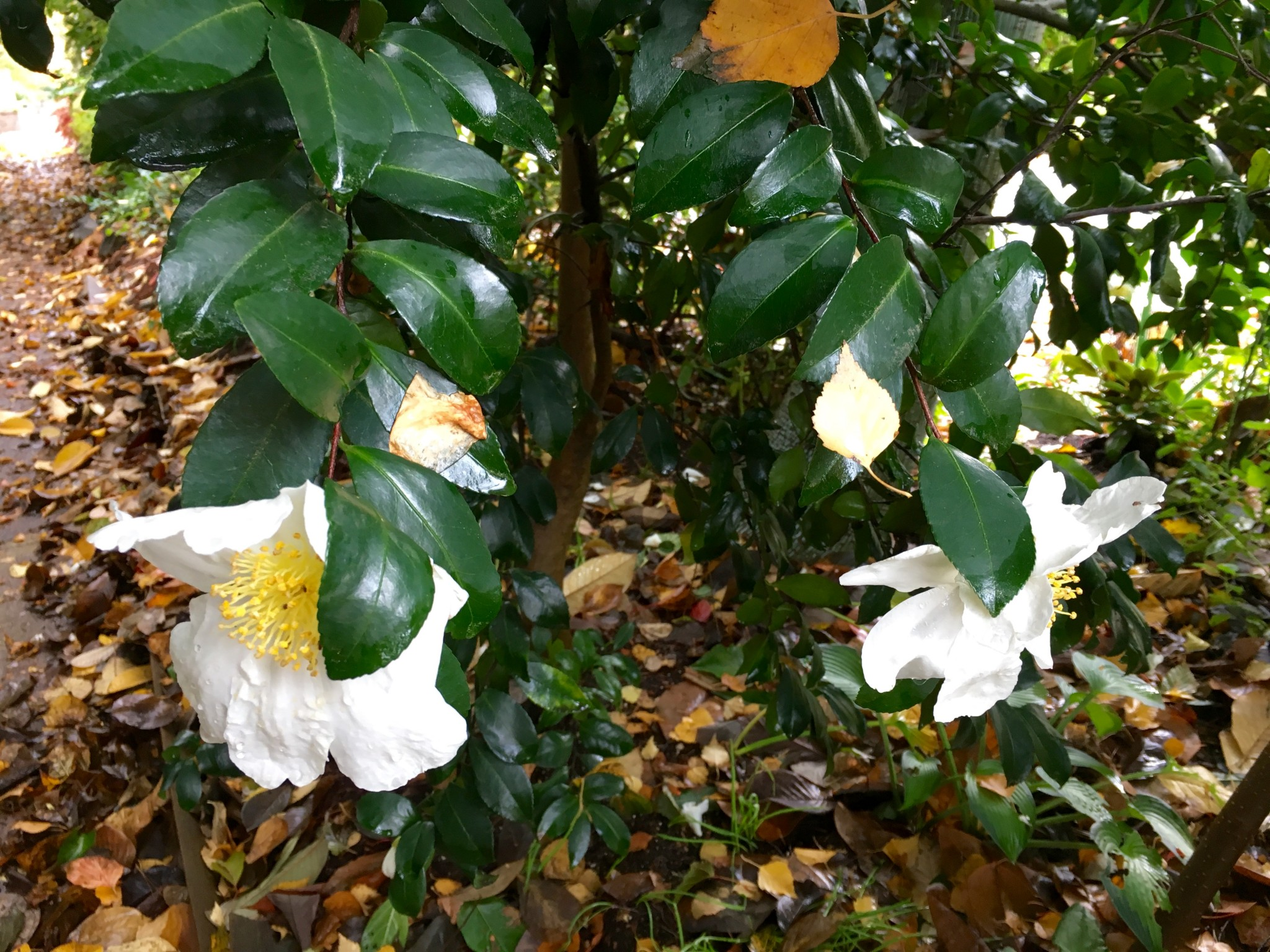White Camellia acting a wintertime Romneya coulteri.