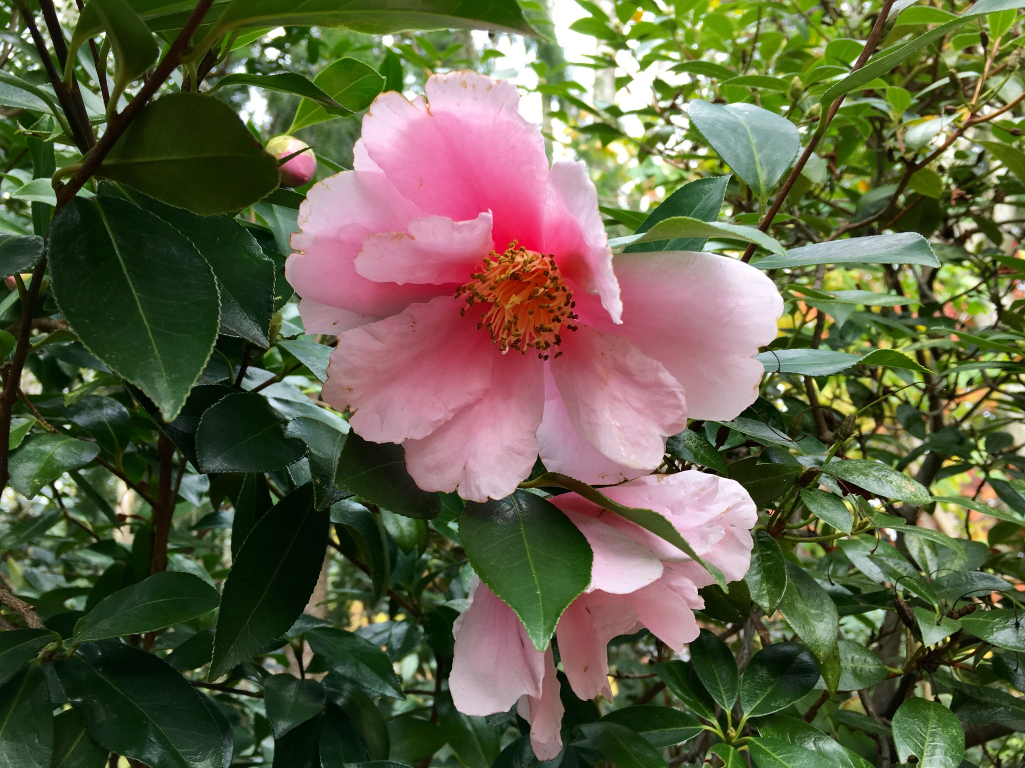 Pink Camellia with fluttering petals.