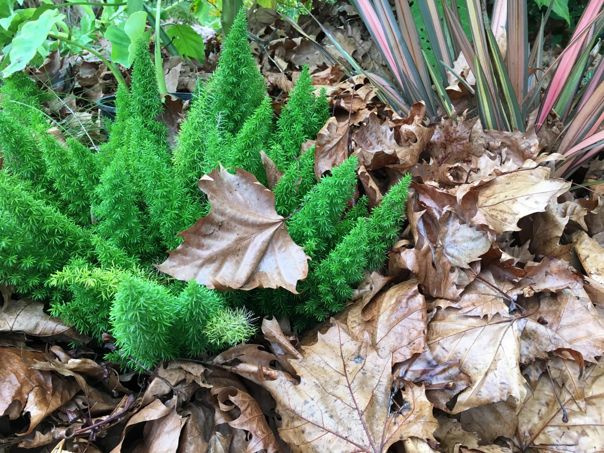 Asparagus densiflorus 'Myersii' and Phormium 'Sundowner' under cover.