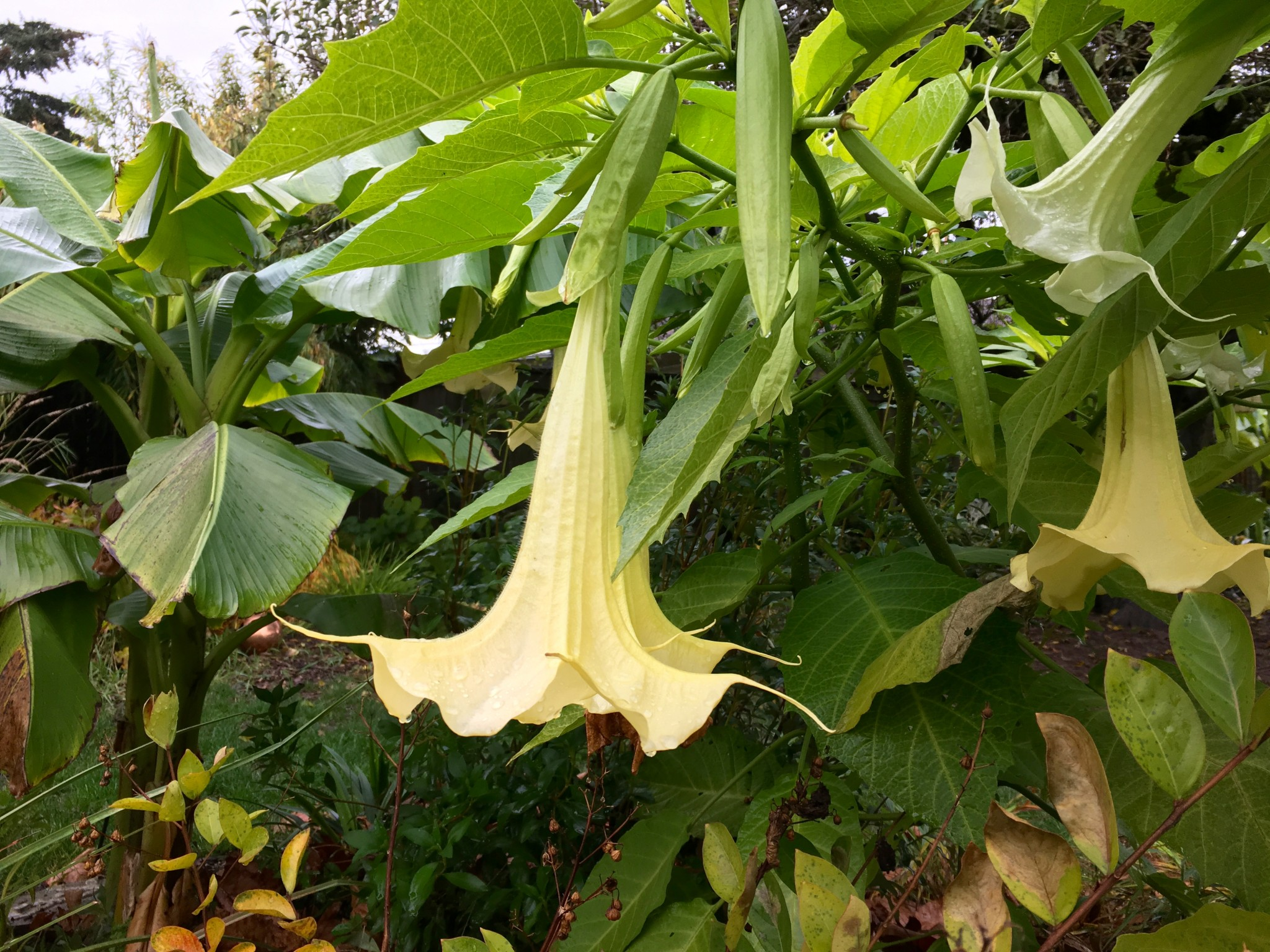 Brugmansia 'Charles Grimaldi' and Brugmansia 'Single White' still singing their hearts out.