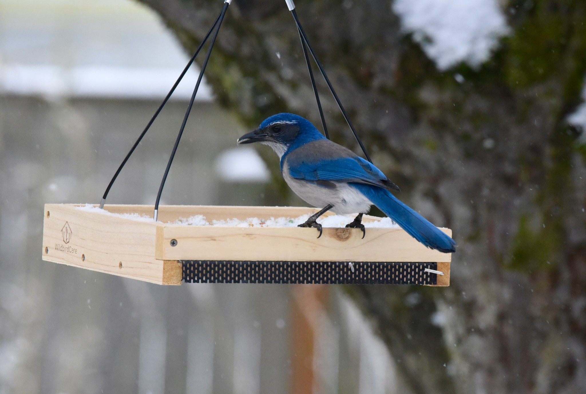 Scrub Jay - January 2016