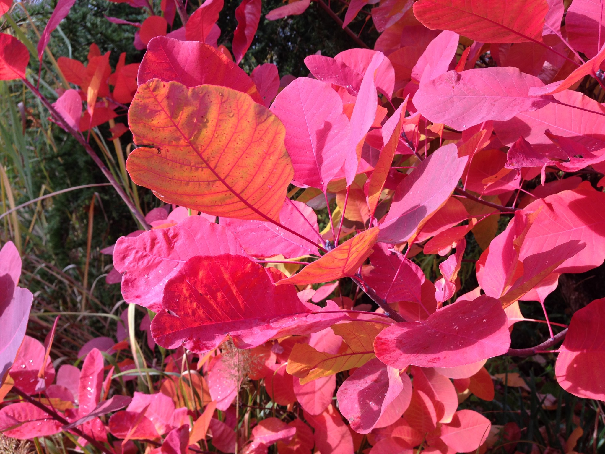 Cotinus 'Grace' (I think) at Gossler Farms