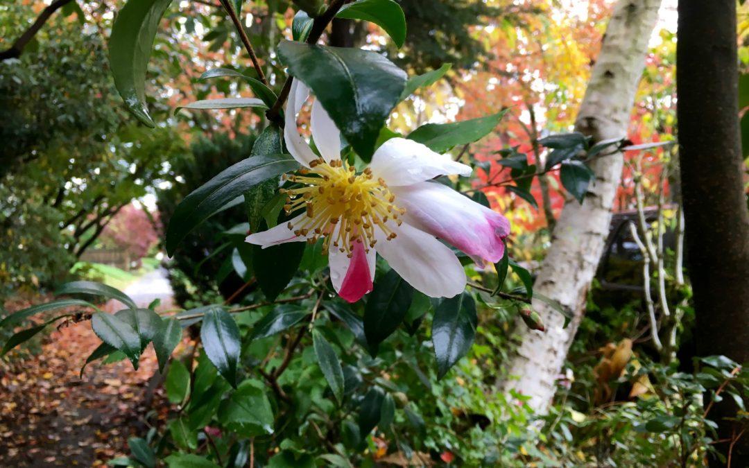 plant lust list: Camellia
