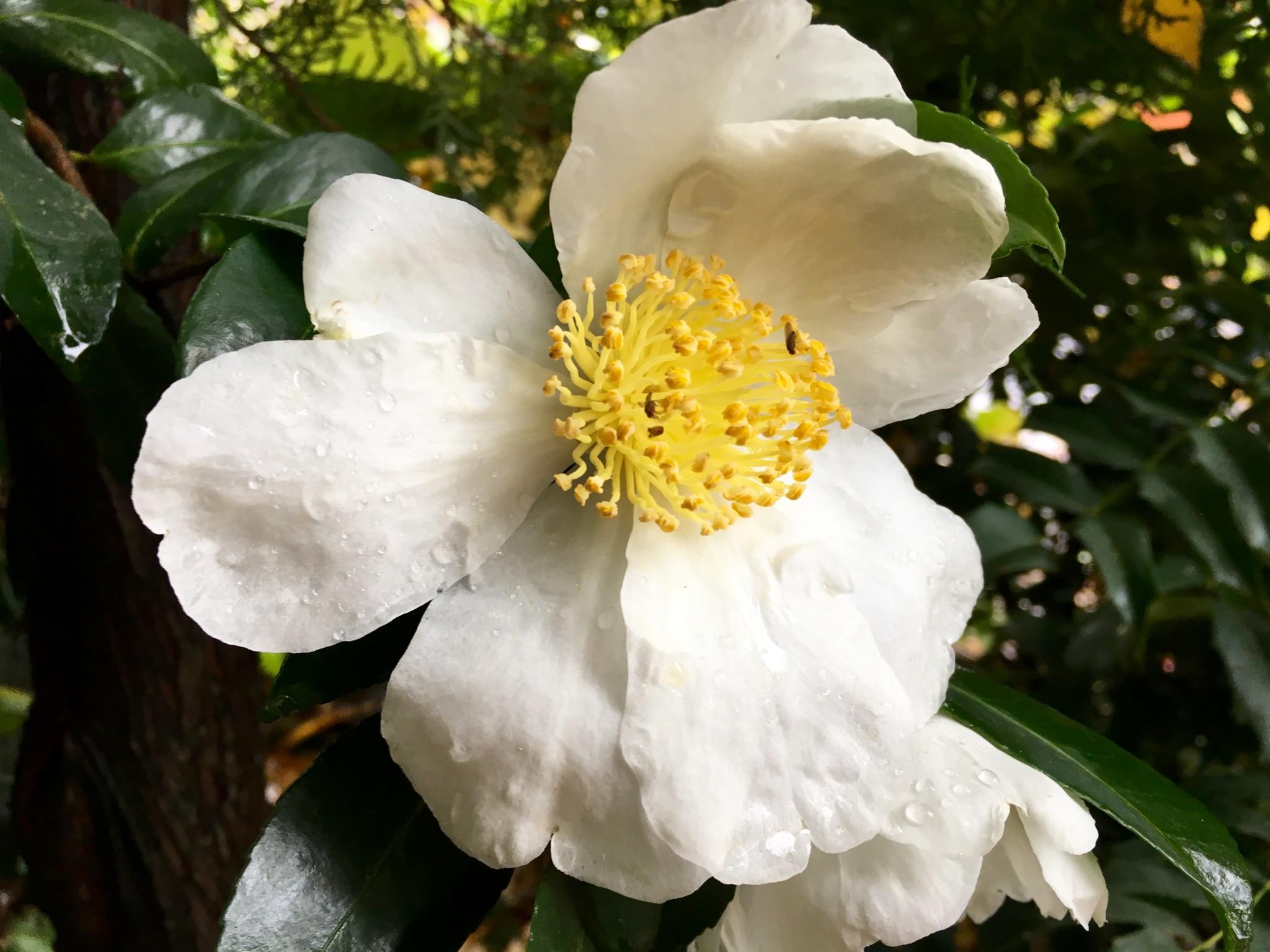White Camellia that mimics the look of Romneya coulteri aka Matilija Poppy.