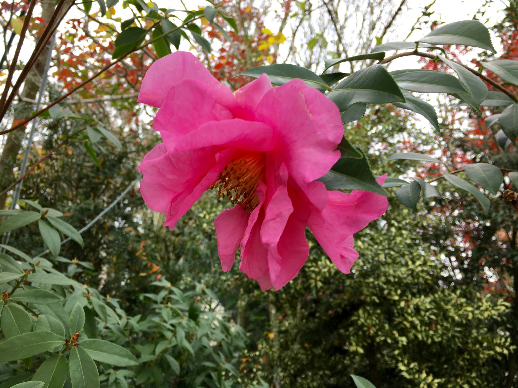 Camellia NOID. Crazy gorgeous, right?