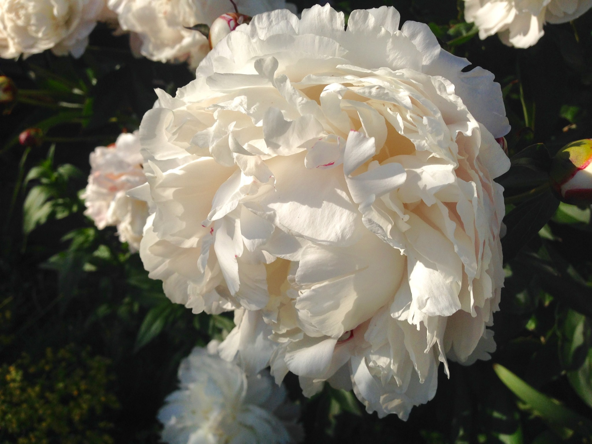 Paeonia NOID. Wouldn't it be wonderful if they bloomed on Valentine's Day.
