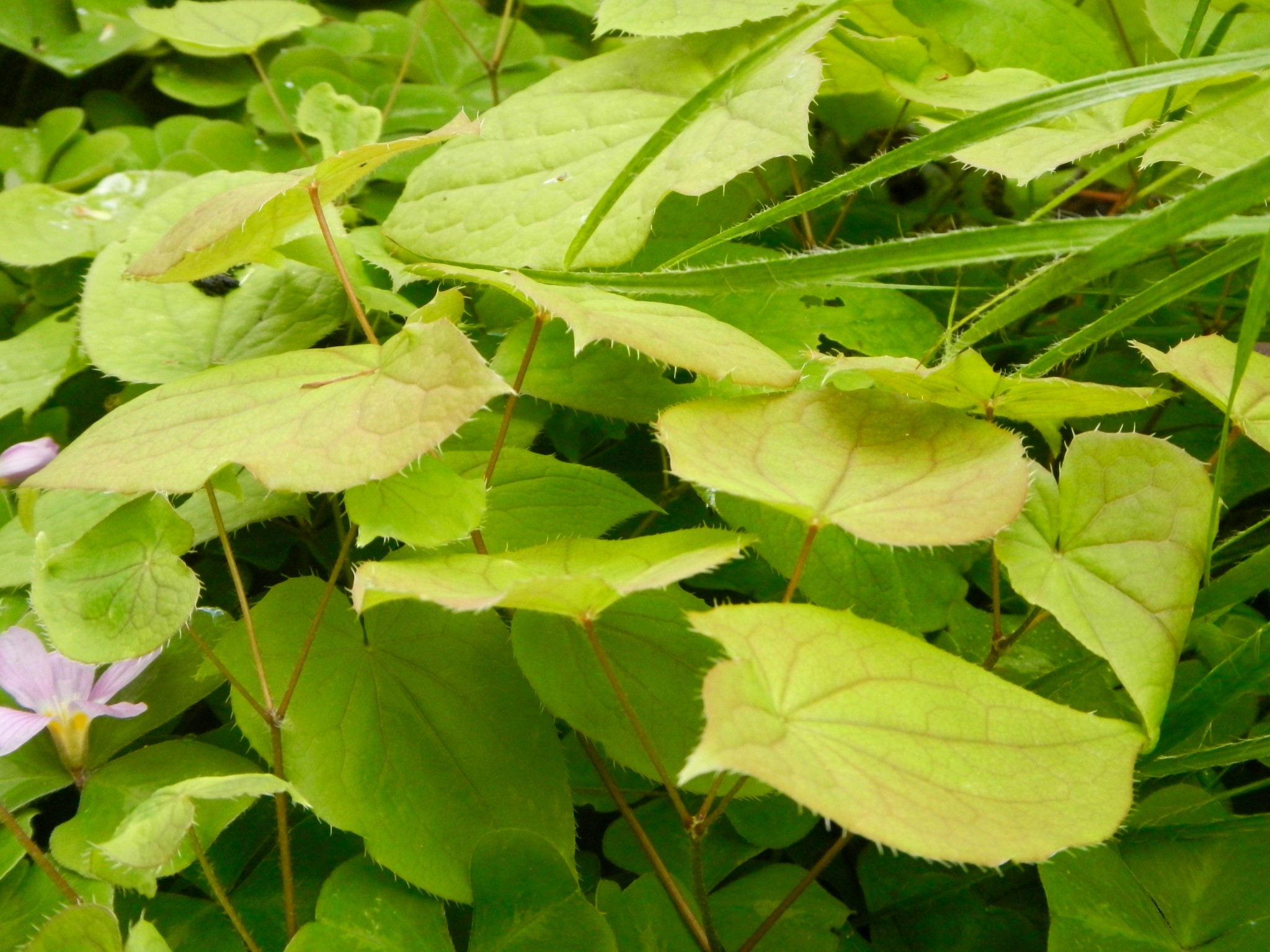 Many Epimediums dress in heart-shaped leaves. It's fairy-wing flowers are bonus.