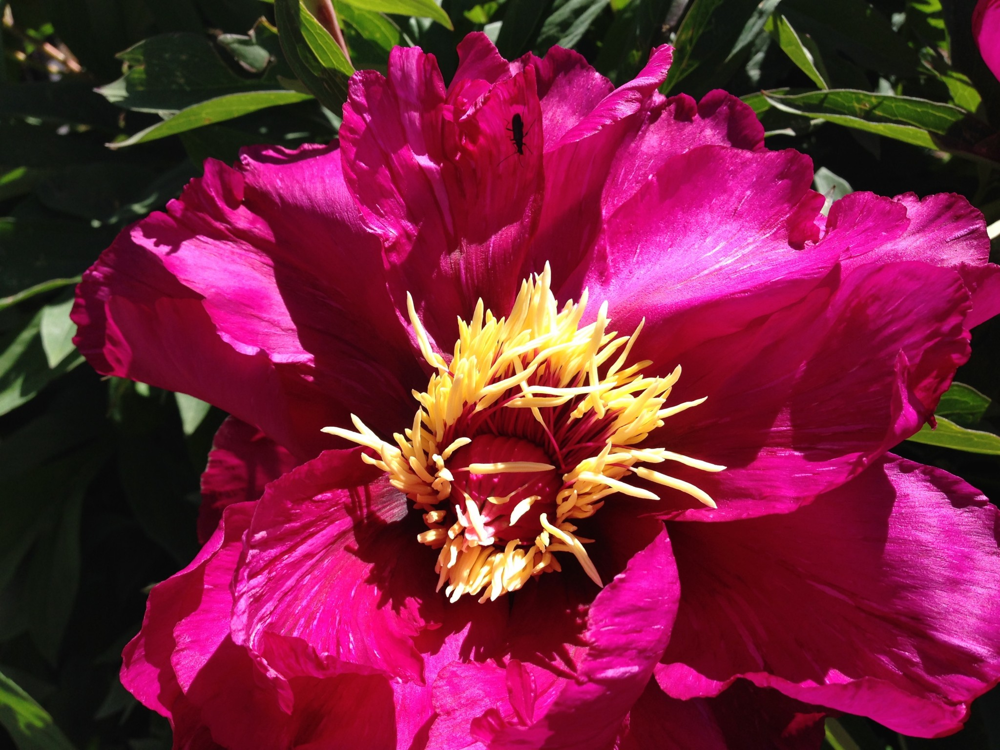 "An inherited Itoh Hybrid Peony. I call her ""Floozy""."