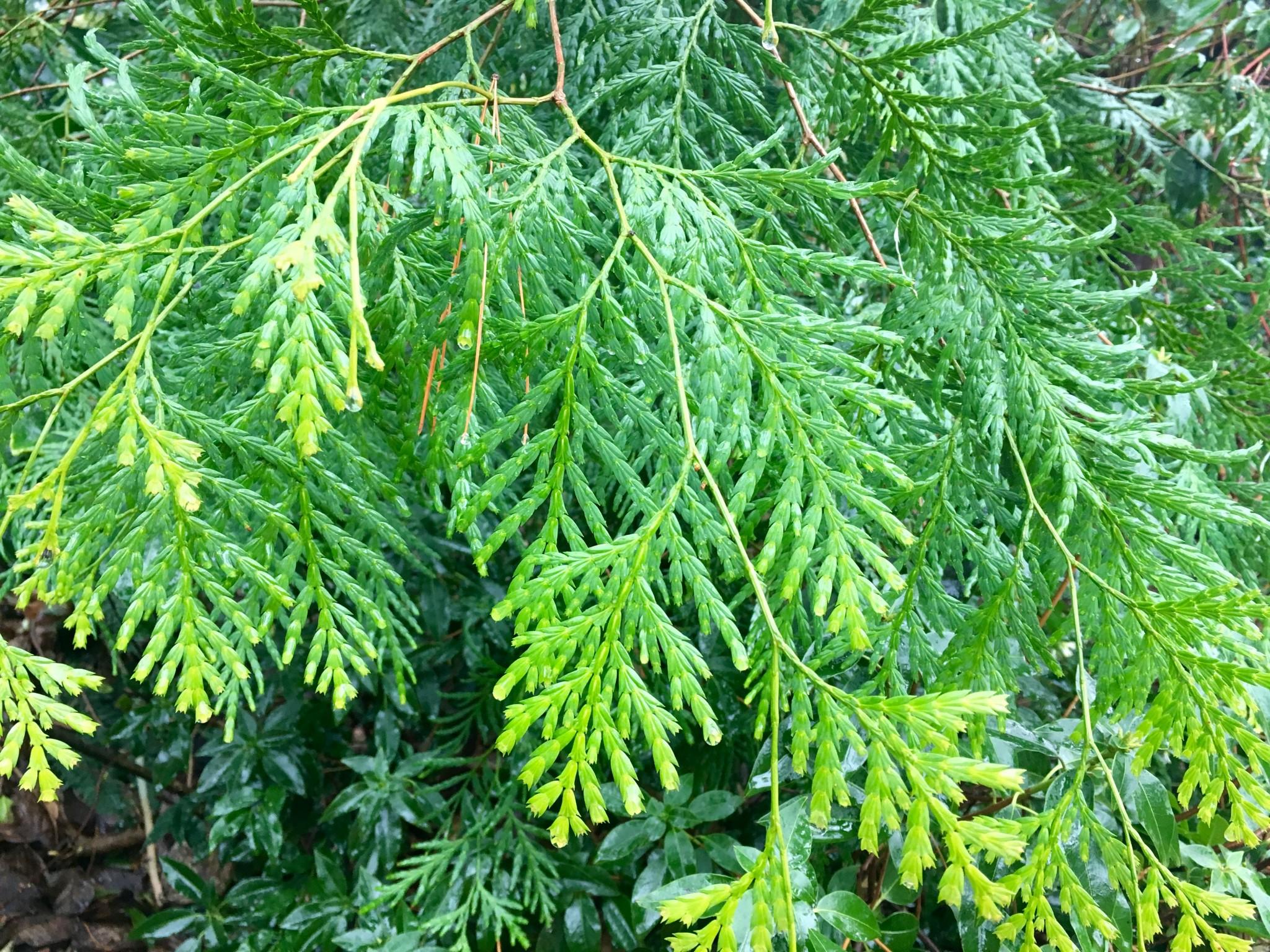 Intense textural grooviness. Cedar?