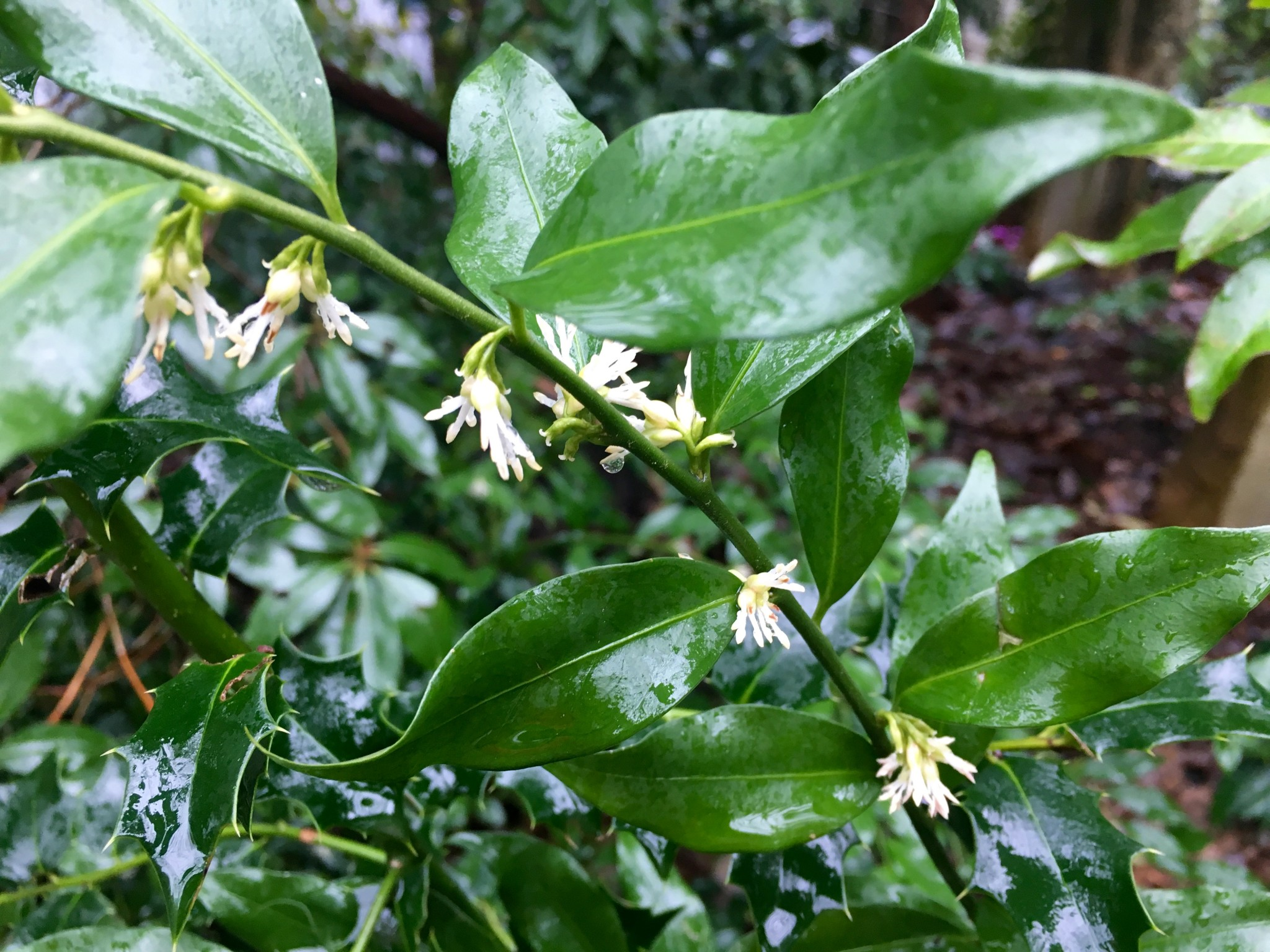 Sarcococca wins the bean in the fragrance department.