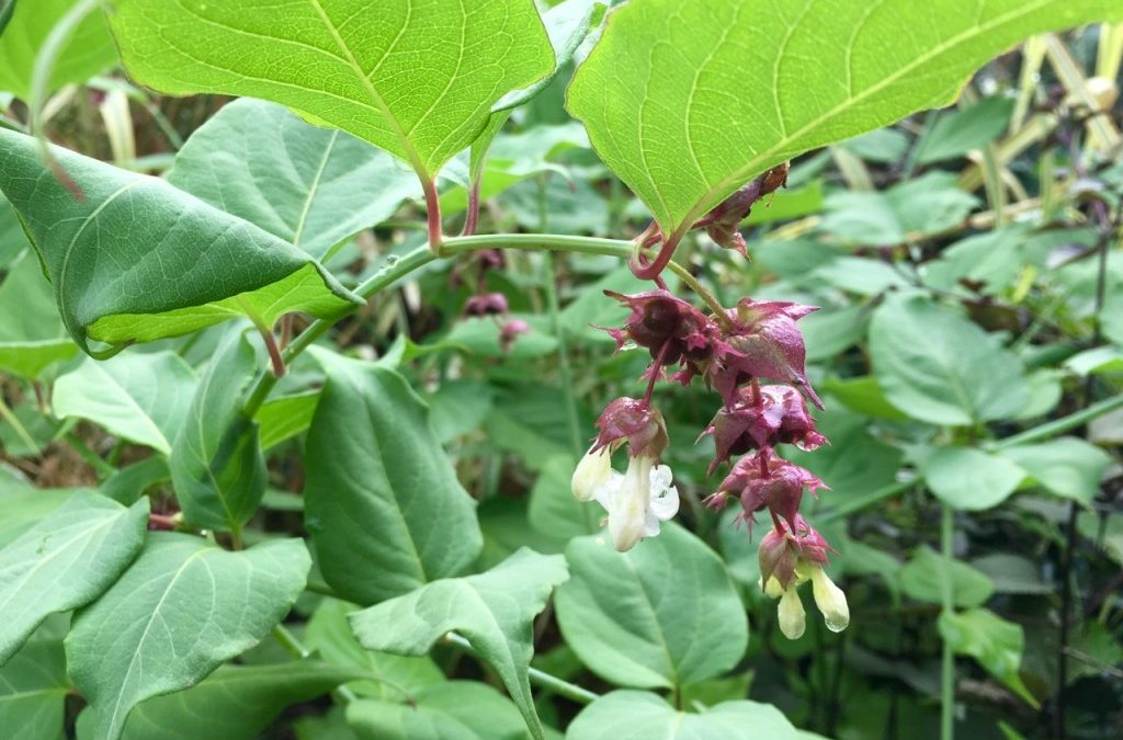 a plant to consider: Leycesteria formosa