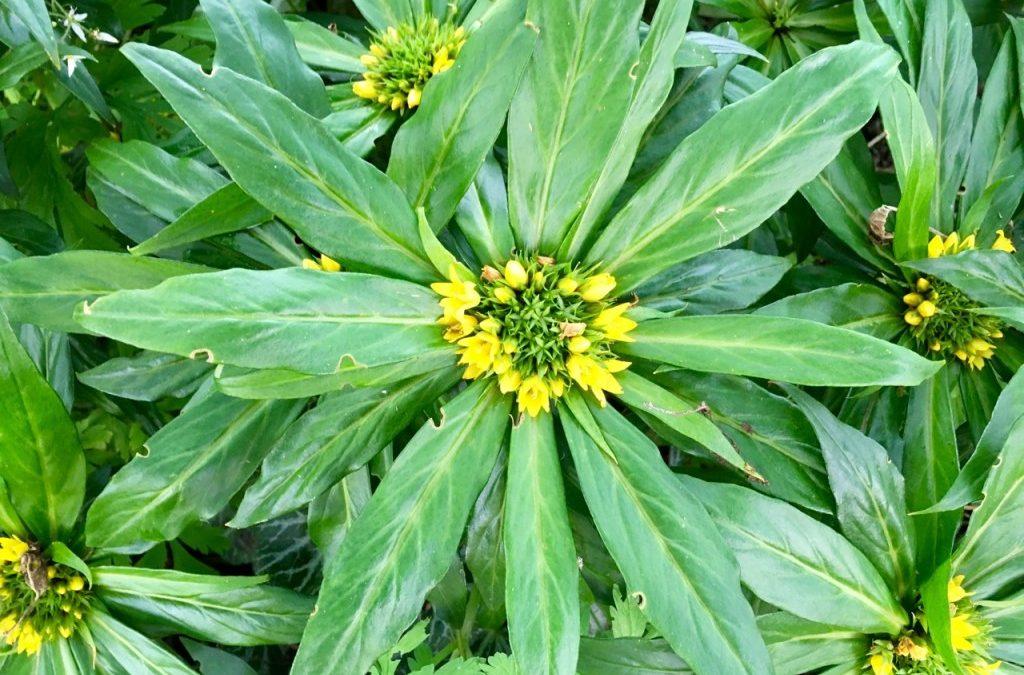 a plant to consider: Lysimachia paridiformis var. stenophylla