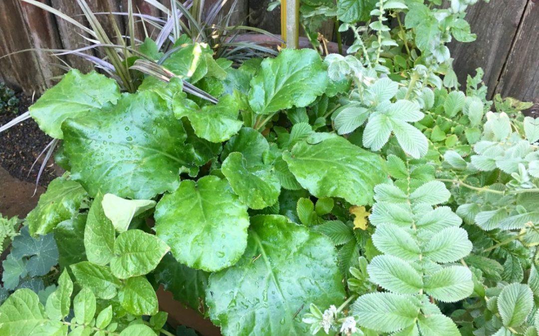 plant lust list: Bergenia