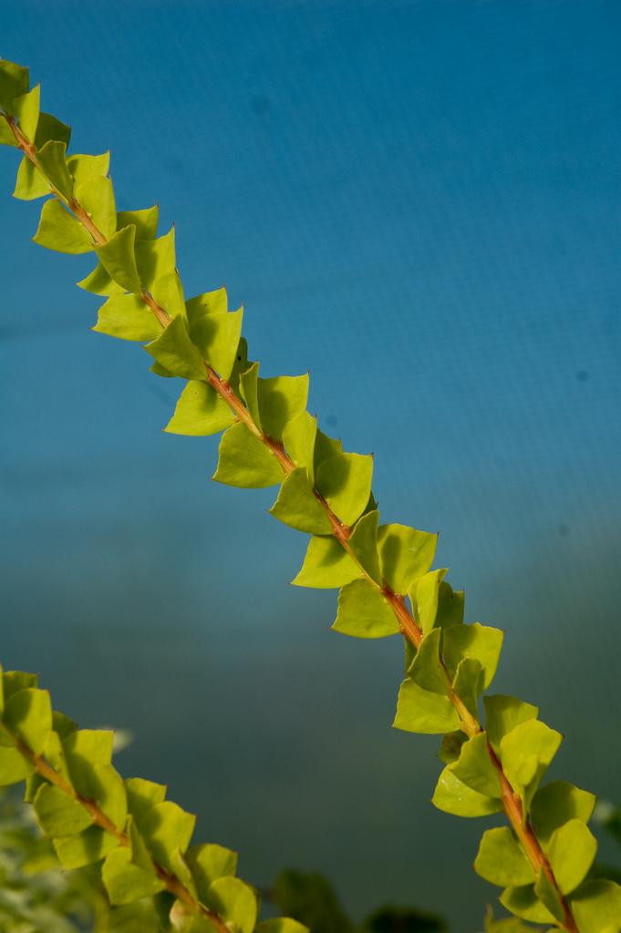 Acacia pravissima by Secret Garden Growers