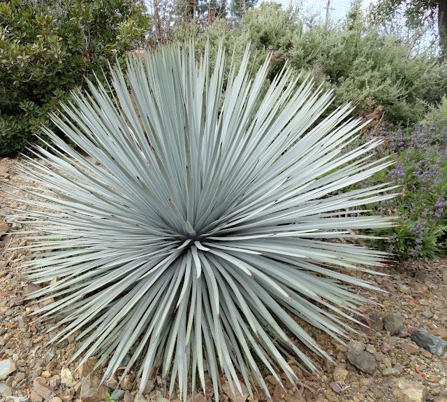 hesperoyucca whipplei by Danger Garden