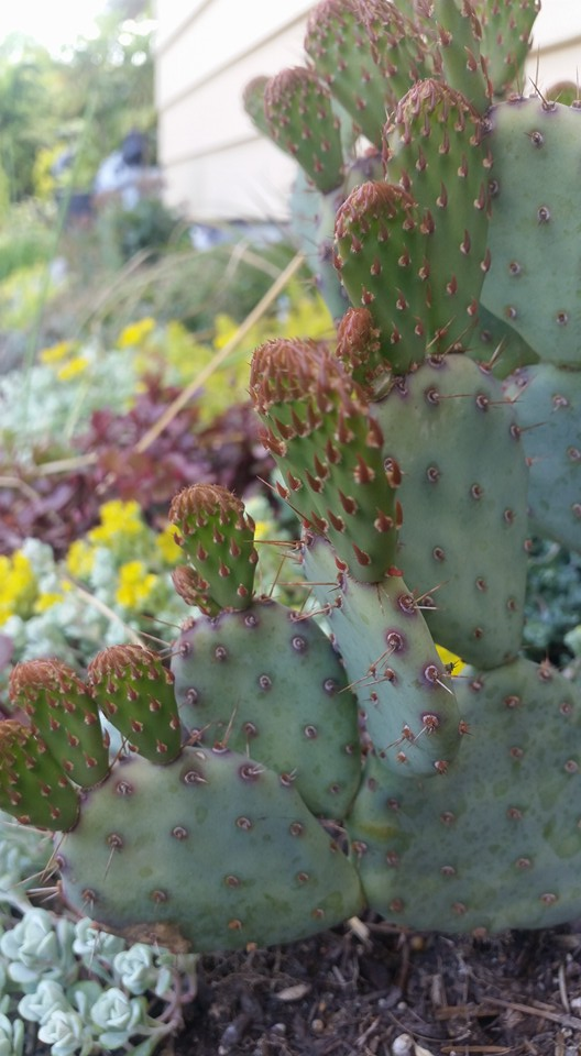 Opuntia Baby Rita by Dale Hickey