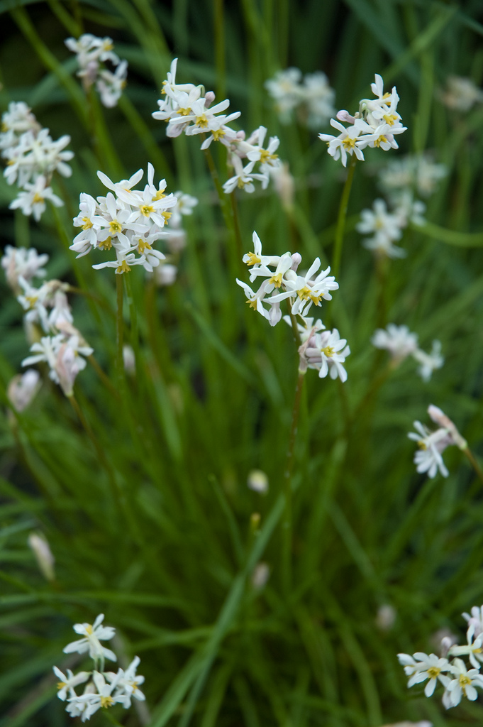 tulbaghia natalensis by Secret Garden Growers