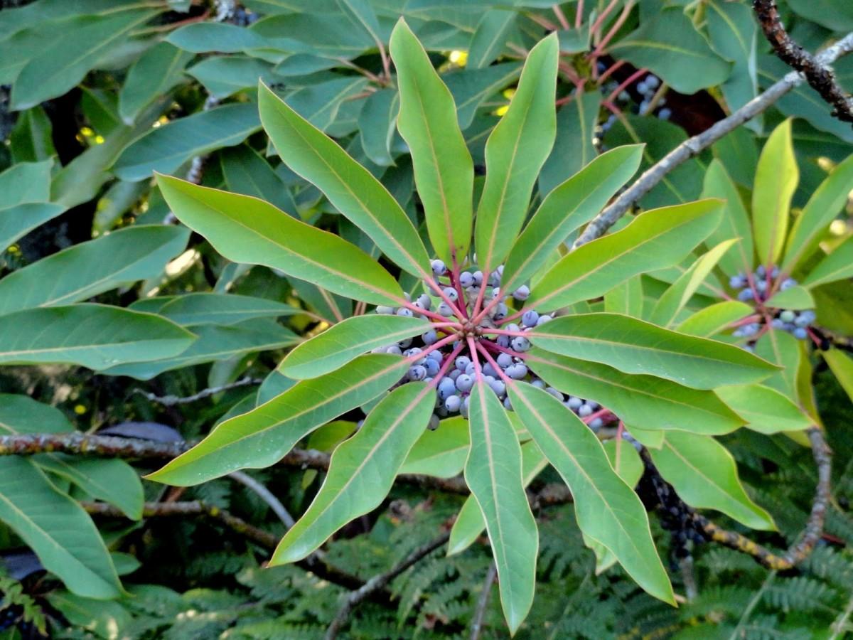 Daphniphyllum macropodum by Danger Garden
