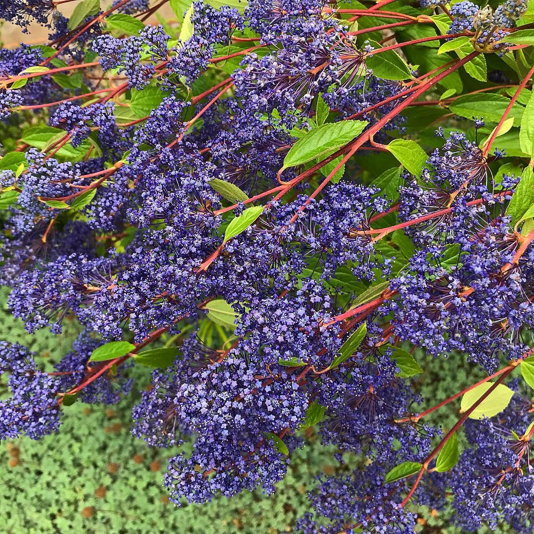 Ceanothus 'Autumnal Blue' Photo Credit- Cistus Nursery
