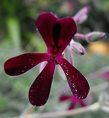Pelargonium sidoides Photo Credit- Stickpen public domain