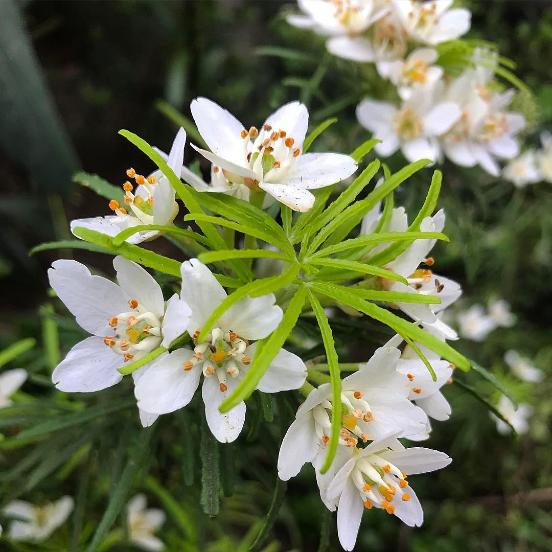Choisya 'Goldstone' flowers by Cistus Nursery