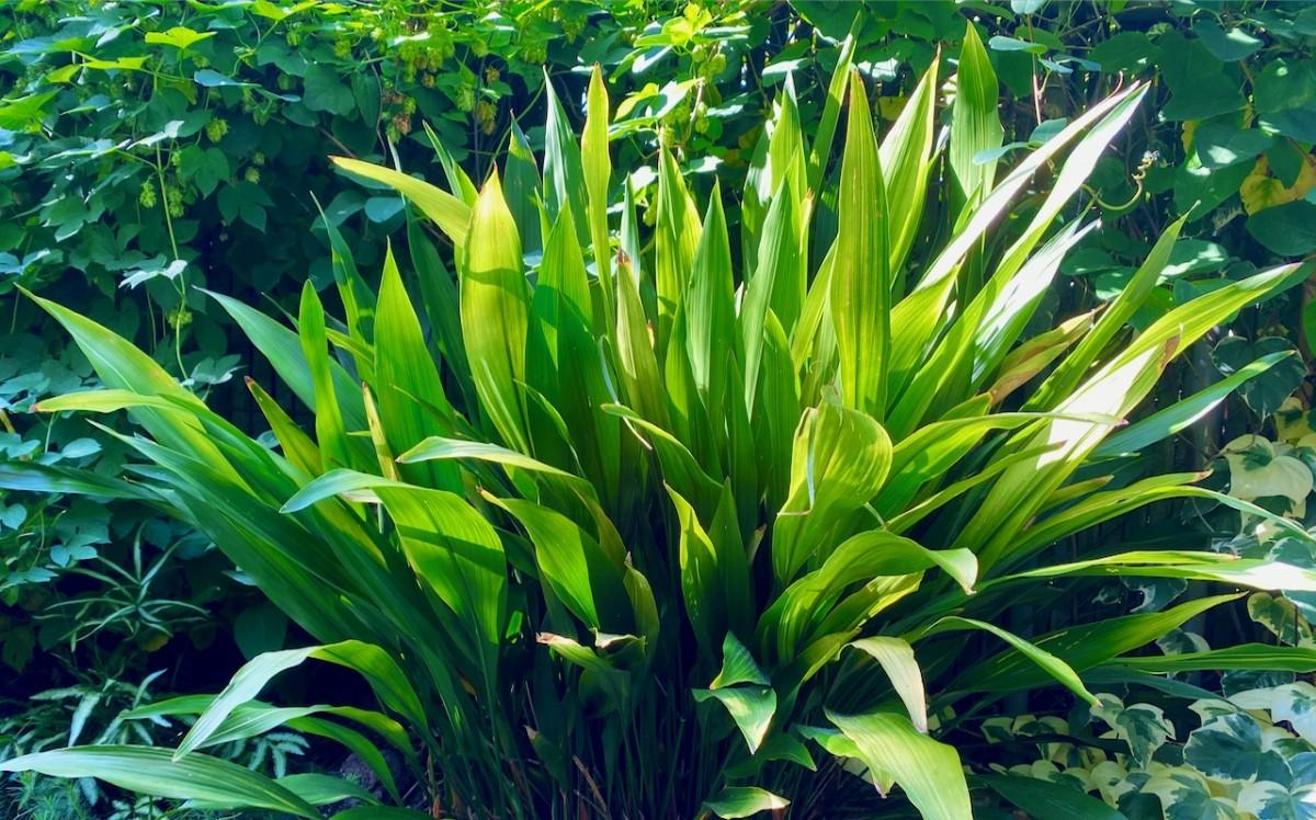 Aspidistra NOID by Plant Lust