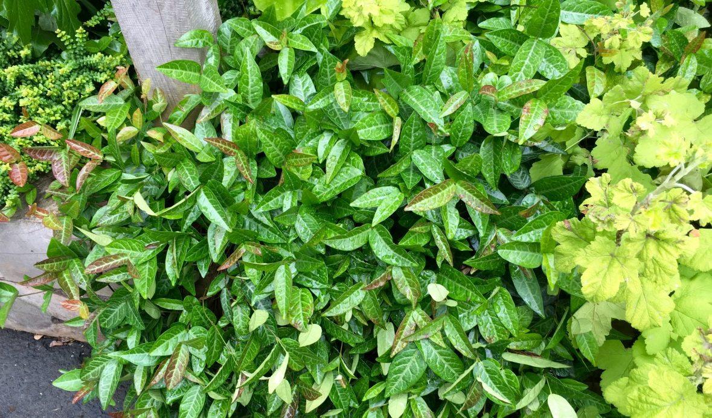Trachelospermum asiaticum 'Red Top' Photo Credit- Patricia Cunningham
